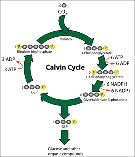 Cycles in biology essay aqa